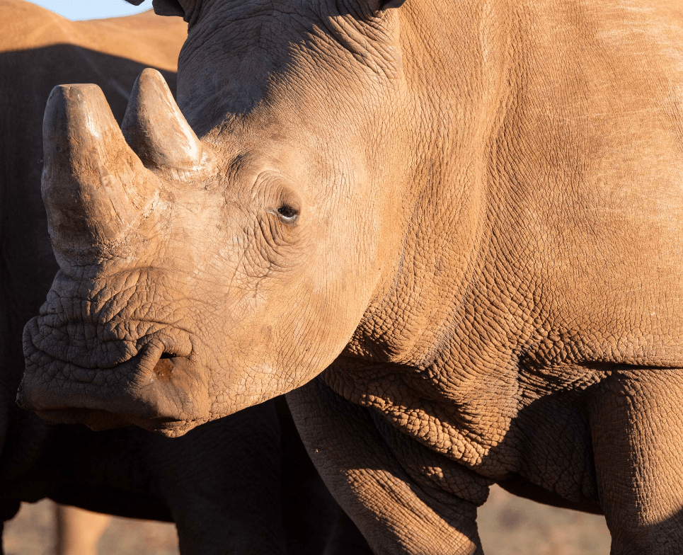 confused rhino