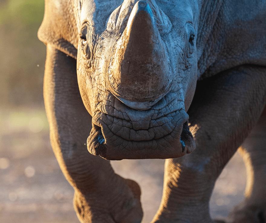 Storming rhino