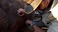 researcher examining rhino