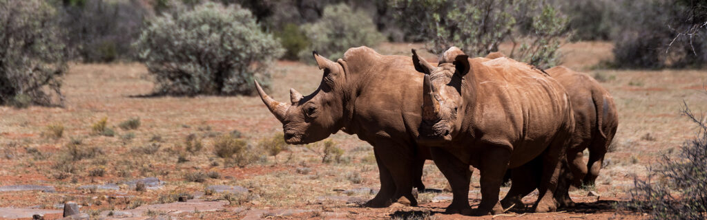 black rhino wildlife