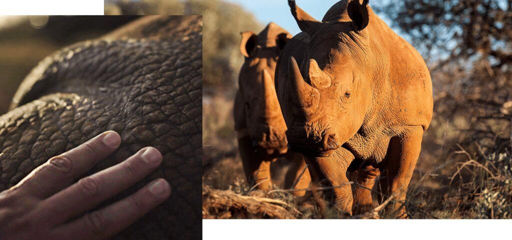 saving the rhino