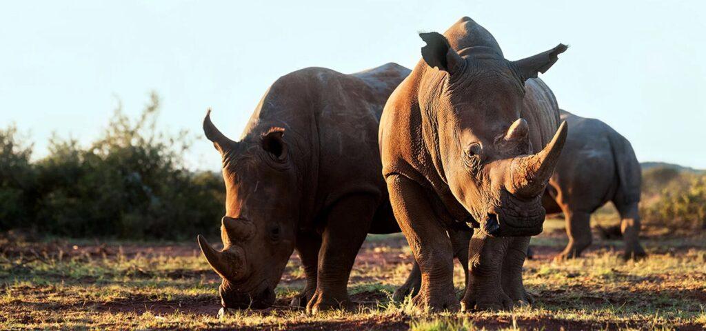 poaching rhinos
