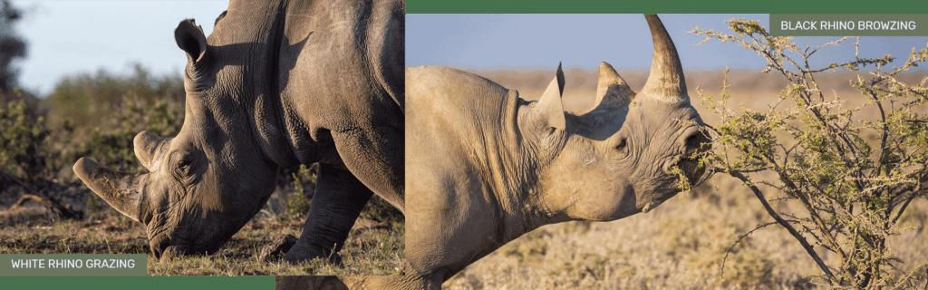 black rhinos eating