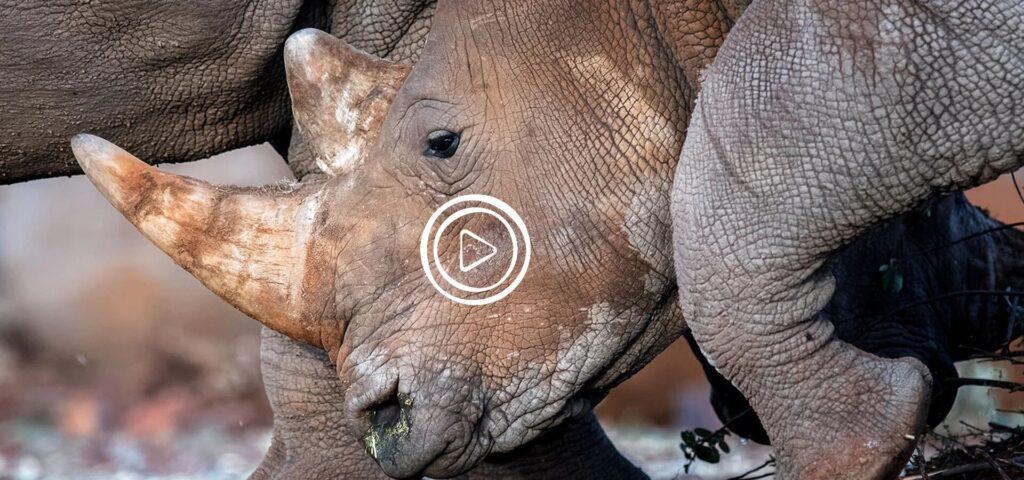 orphaned rhino calf