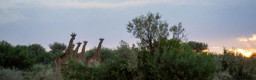 giraffes at risk