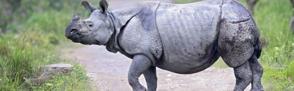 indian rhino diet
