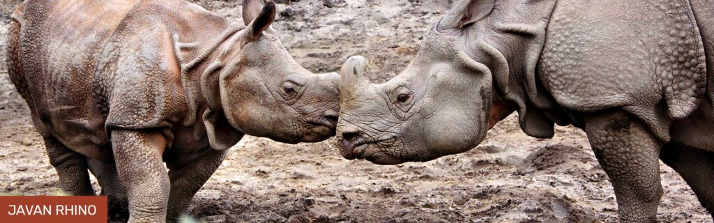 rhino extintion