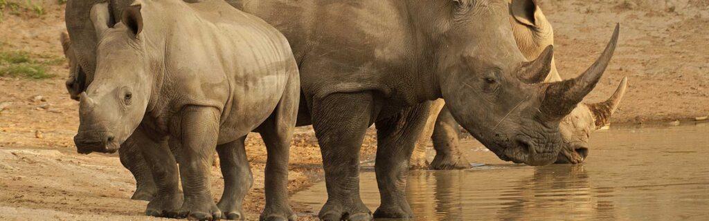 rhinos drinking water
