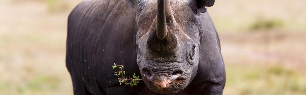 black rhino diet