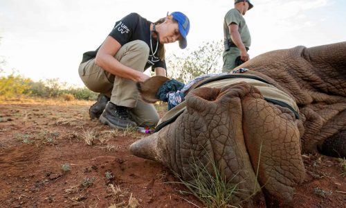 vet checking on rhino