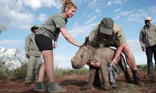 volunteer helping rhino