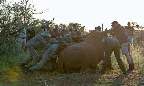 researchers helping rhino