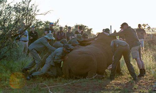 researchers helping rhino